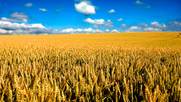 Top Wheat Buyers Grow More of Their Own to Swell Global Glut