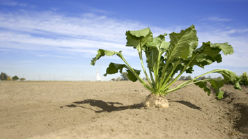 EU to Become Net-Exporter of Sugar After Beet Industry Shake-Up