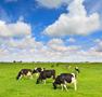 cows grazing in a fresh green field 94x90