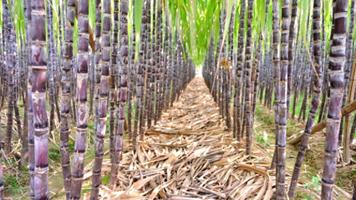 SOFTS-Raw sugar edges up, Brazil cane crush data awaited