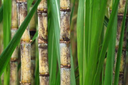 Close up of sugarcane plant 450x299