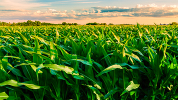 U.S. corn eases for 2nd day as rains boost crop outlook