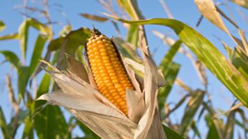 World corn harvest to drop 'sharply' in 2015-16