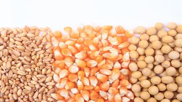 AM markets: cotton, wheat gain – but palm hits six-month low