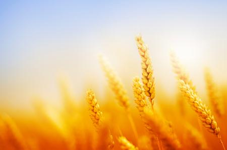 golden wheat field against blue sky