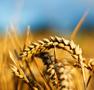 wheat-close-94x90