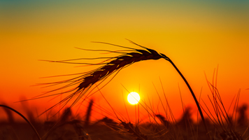 Wheat, Corn Draw Bargain Buying, Ample Supplies Cap Gains